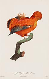 Jacques Barraband | Male Cock-of-the Rock, c.1801/06 | Giclée Paper Print