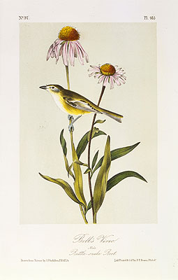 Bell's Vireo, a.1843 | Audubon | Painting Reproduction
